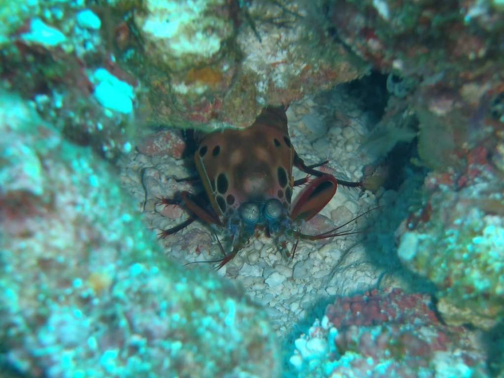 Fangschrecken- oder Heuschreckenkrebse (Stomatopoda)