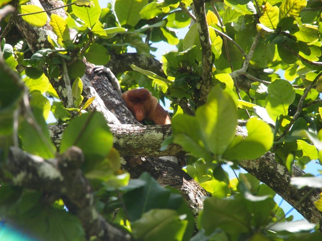 Nasenaffe (Nasalis larvatus) schlafend