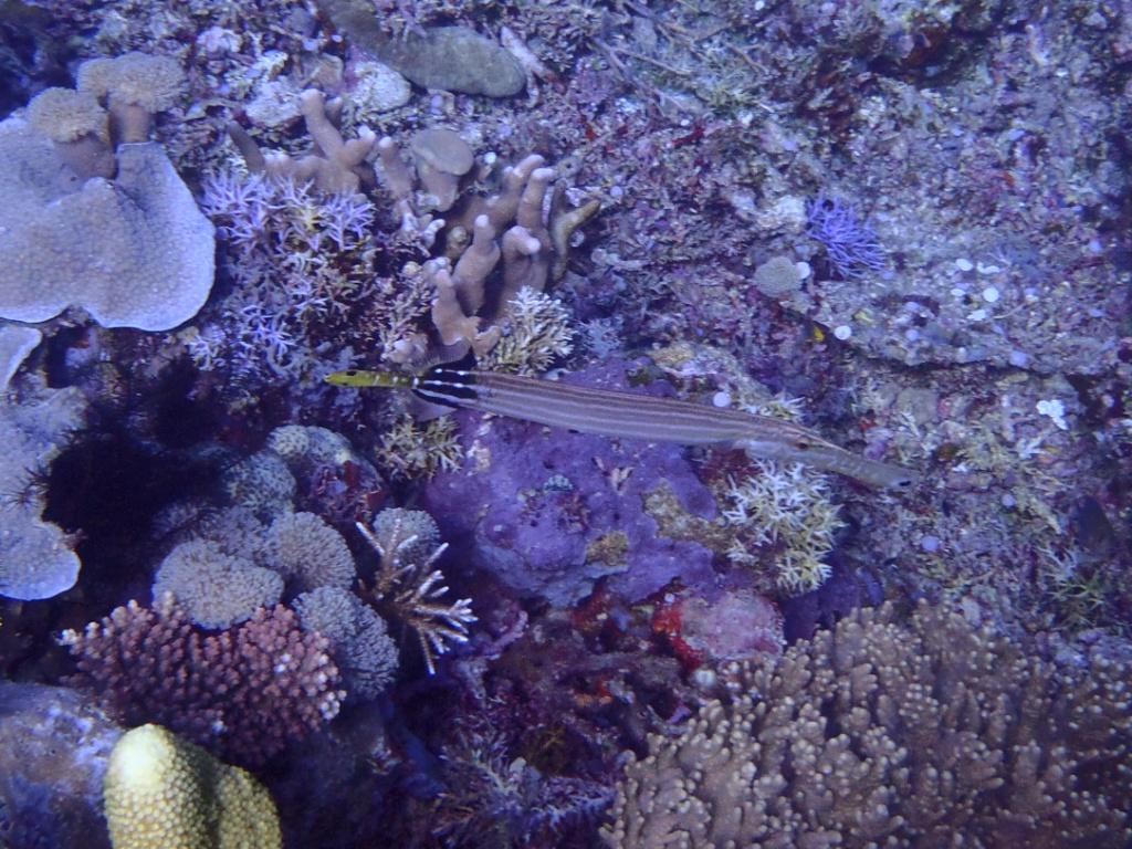 Ostatlantischer Trompetenfisch (Aulostomus strigos
