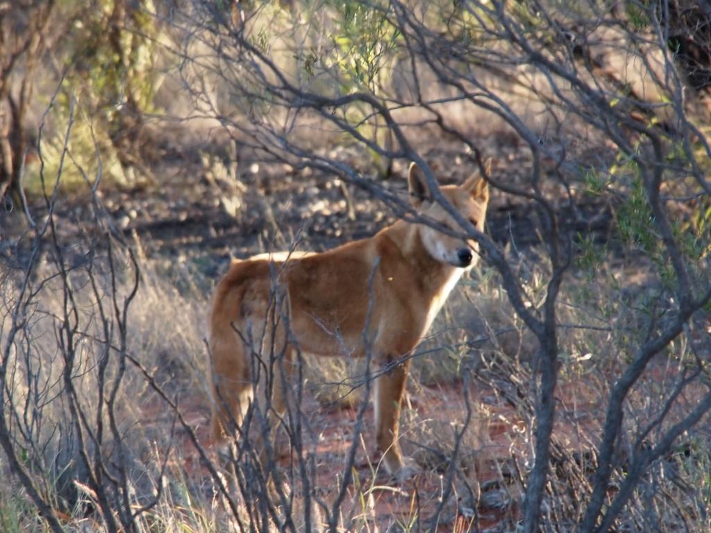 dingo northern territory.jpg