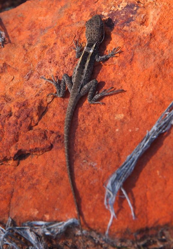 eidechse outback australien