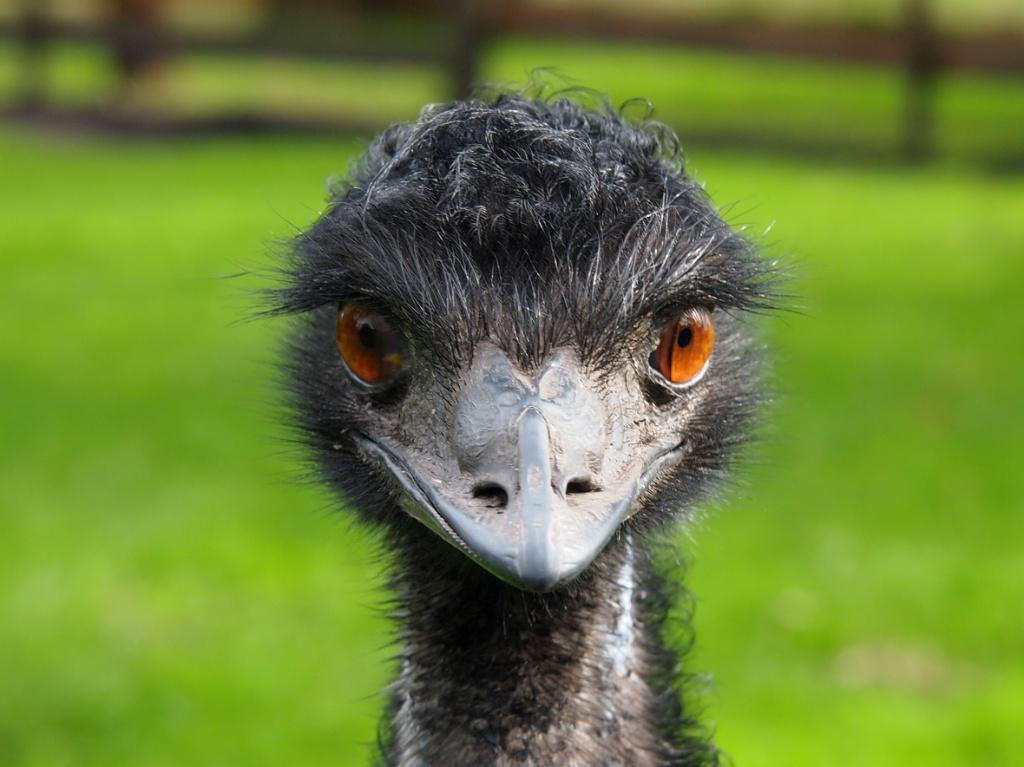 emu kopf australien