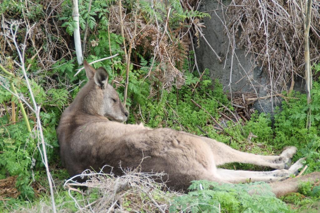 känguru schlafend