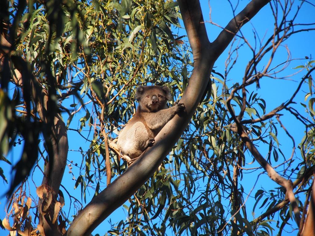 koala australien victoria Phascolarctos cinereus