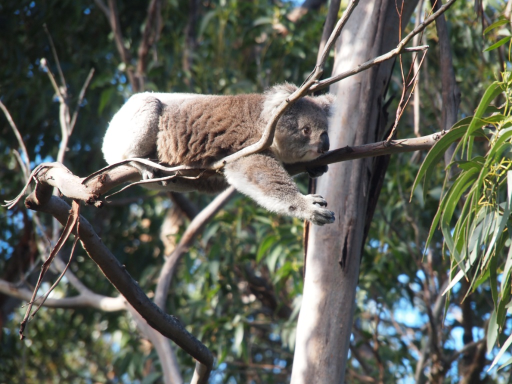 Phascolarctos cinereus koala eukalyptus