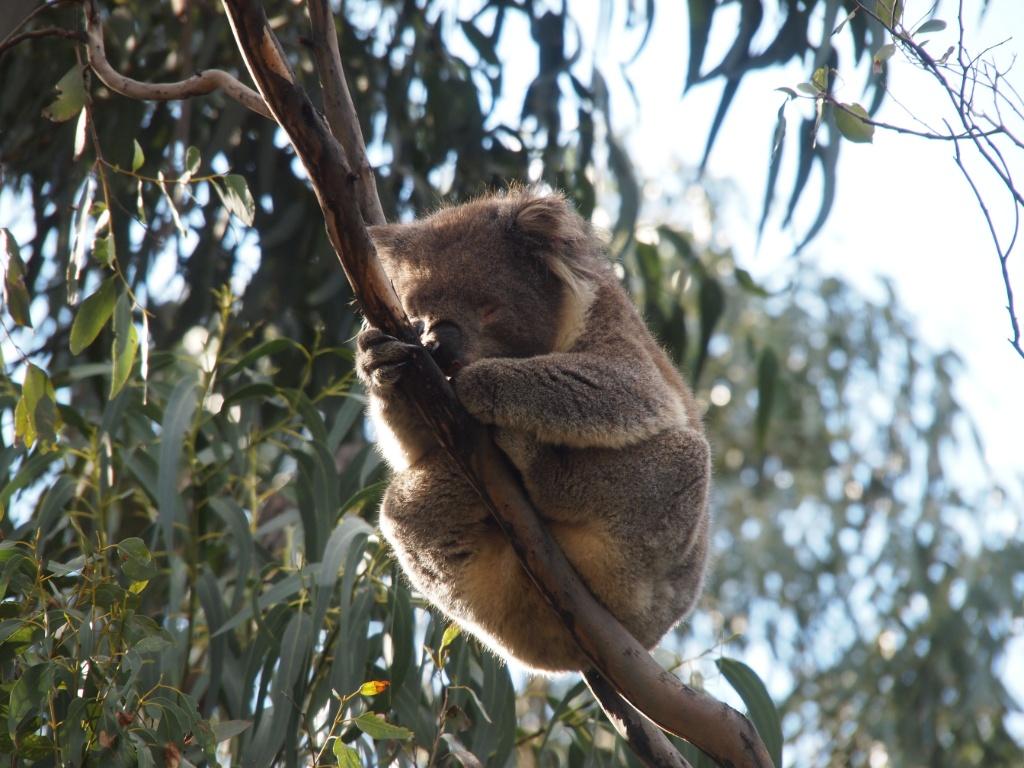 koala schlafend