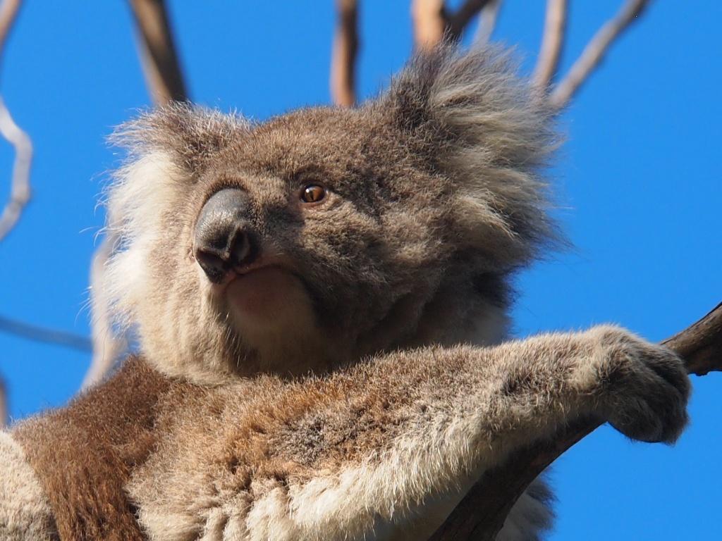 koala victoria