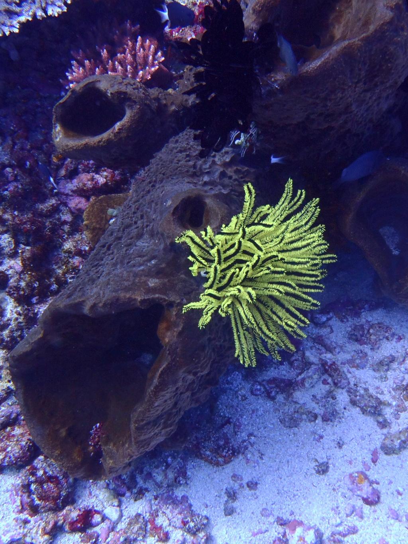 Oxycomanthus bennetti - Bennett's Haarstern korallen-flores