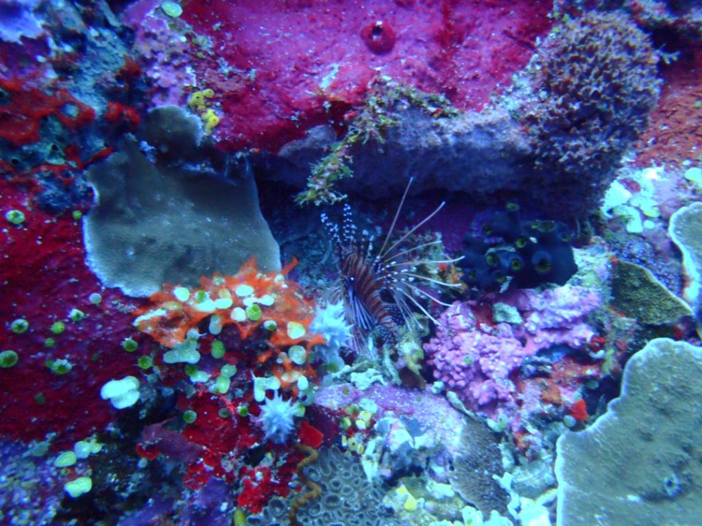 lionfish-indonesia