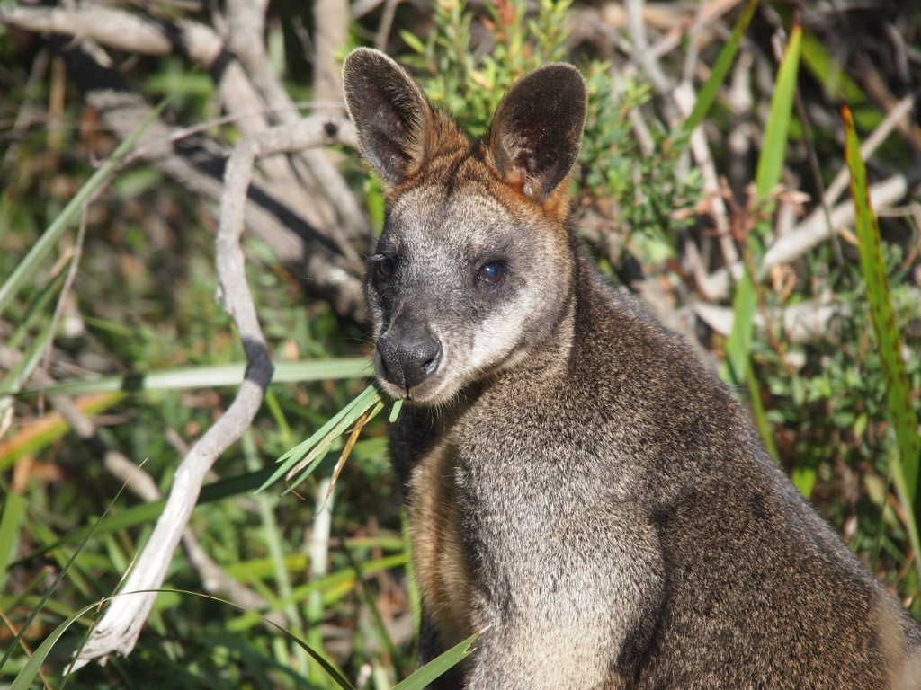 wallaby cape otway