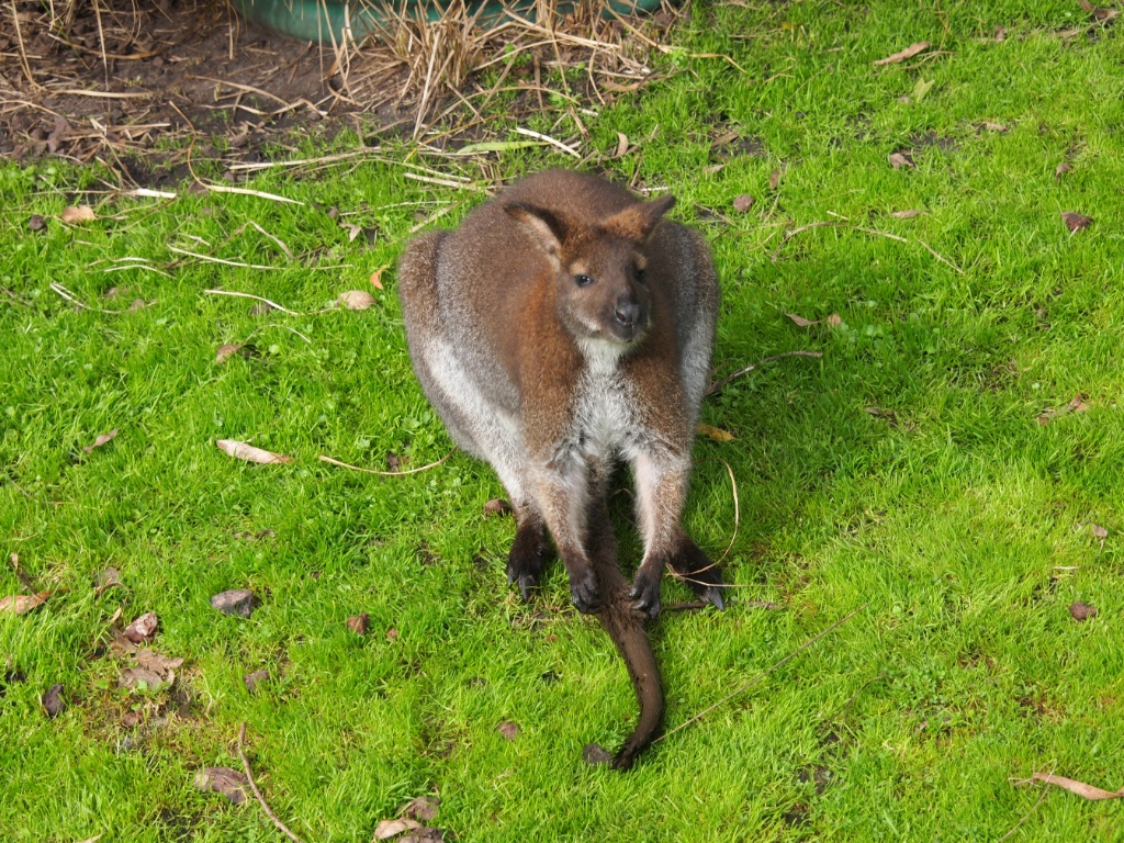 wallaby victoria