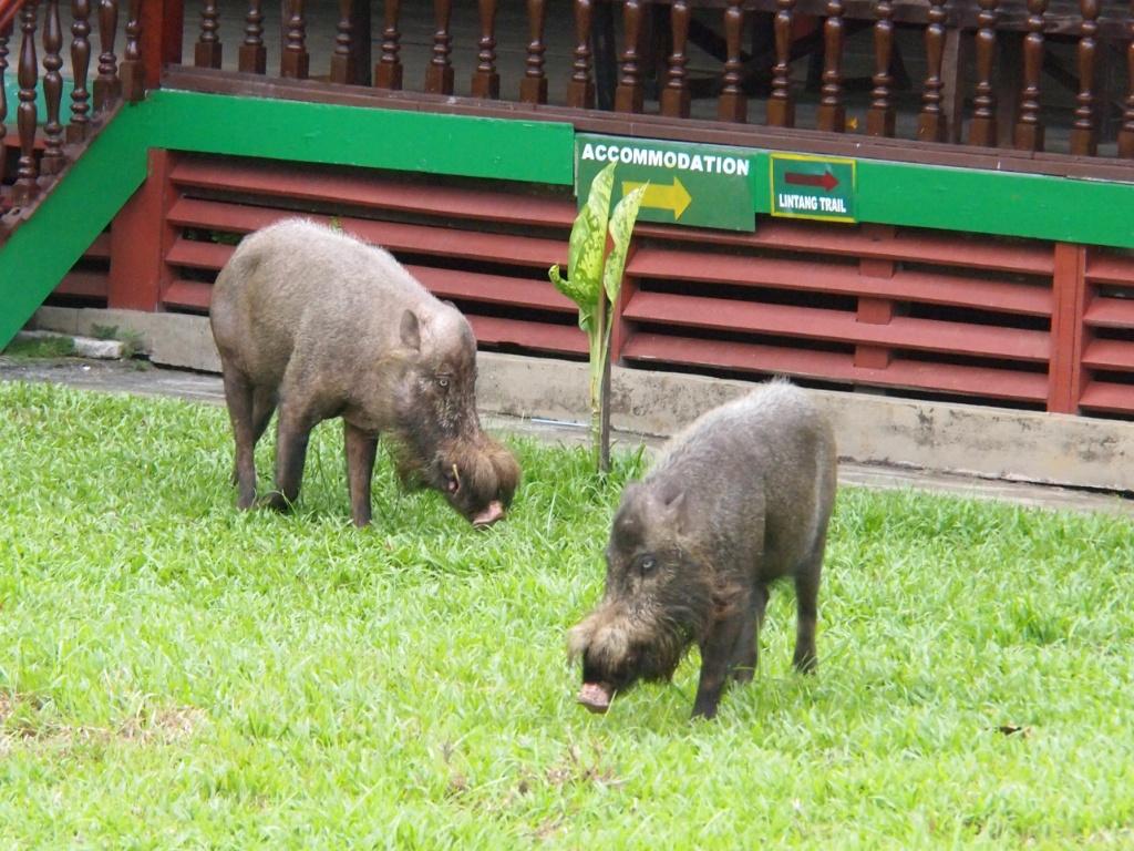 wildschweine malaysia sus barbatus