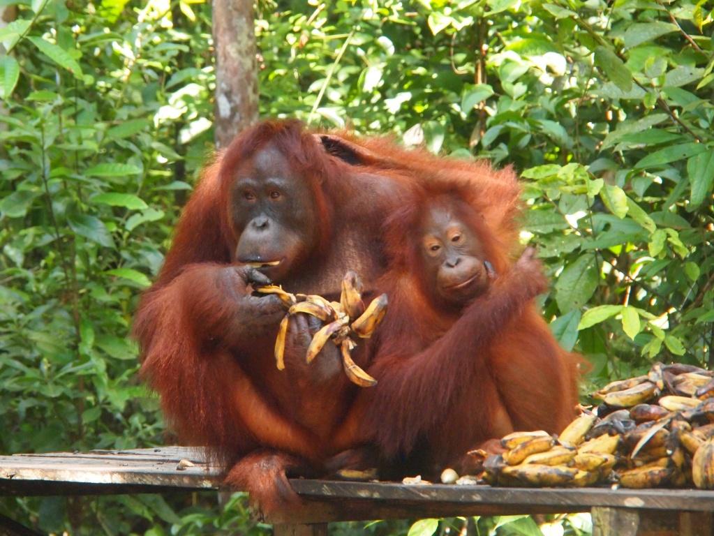 Affen-Borneo