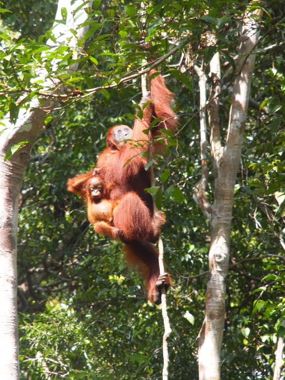 Affen-klettern-Borneo