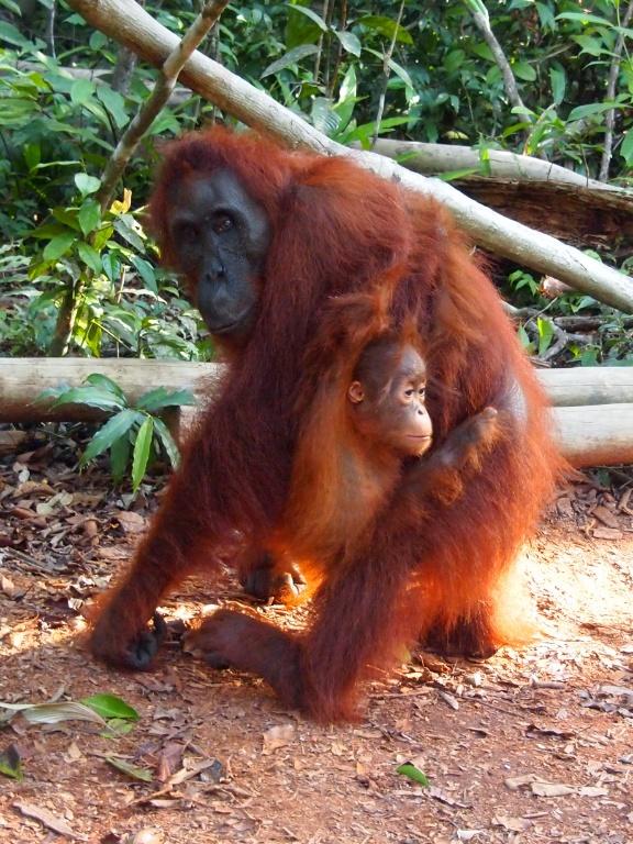 Affenbaby-indonesien