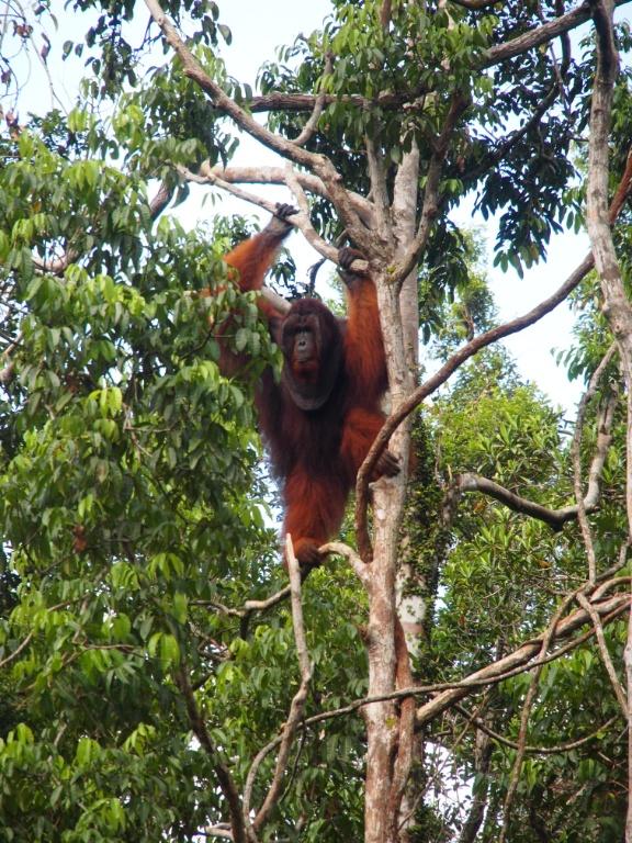 Baum orangutanmännchen