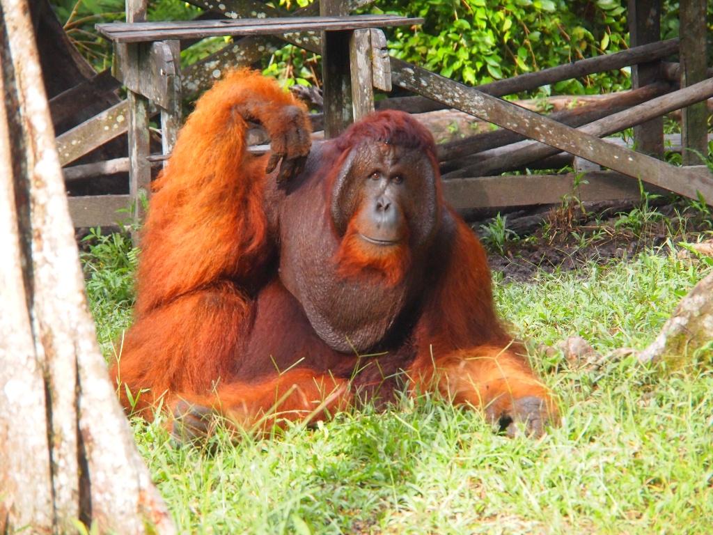 Camp Leaky orangutanmännchen
