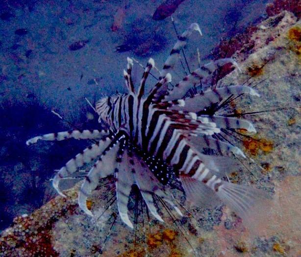 Feuerfische-Pteroinae-bzw.-Pteroini