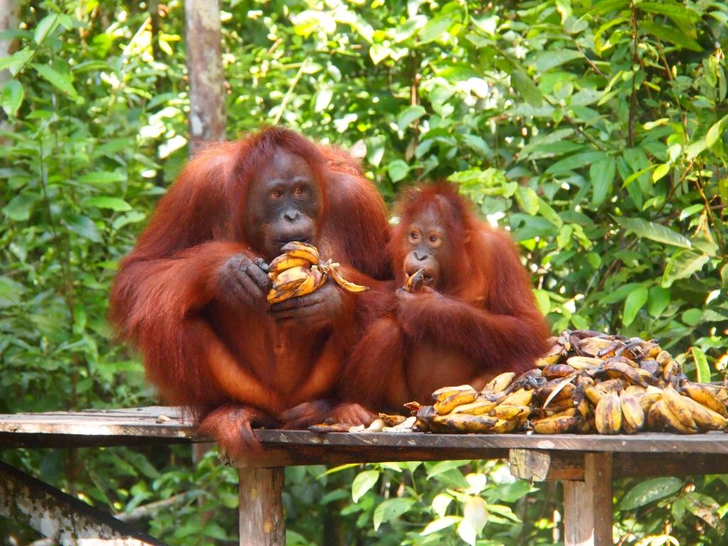 baby orang utans auf borneo weltreise 2014 i mein reiseblogweltreise 2014 i mein reiseblog. Black Bedroom Furniture Sets. Home Design Ideas
