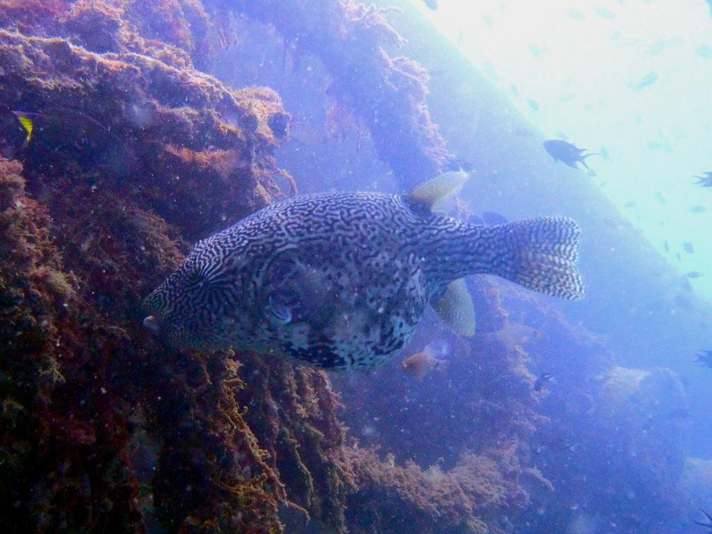 Kugelfische-Tetraodontidae