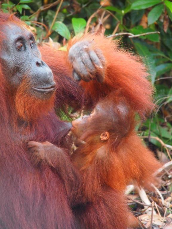 Orangutanmutter-stillen