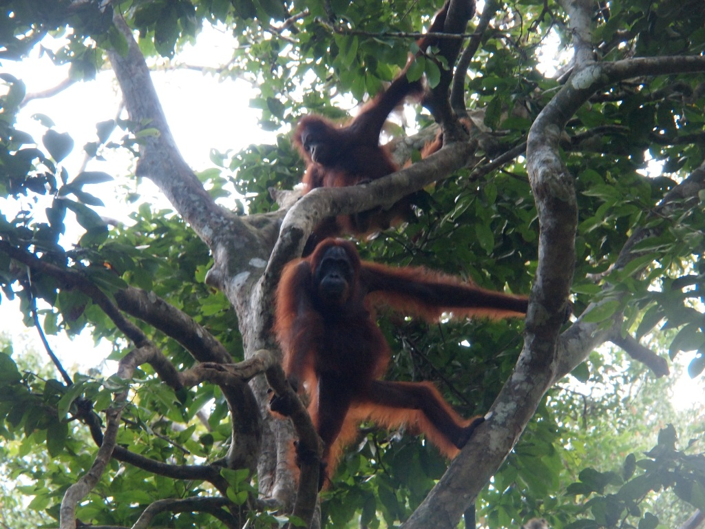 Orangutans kalimantan