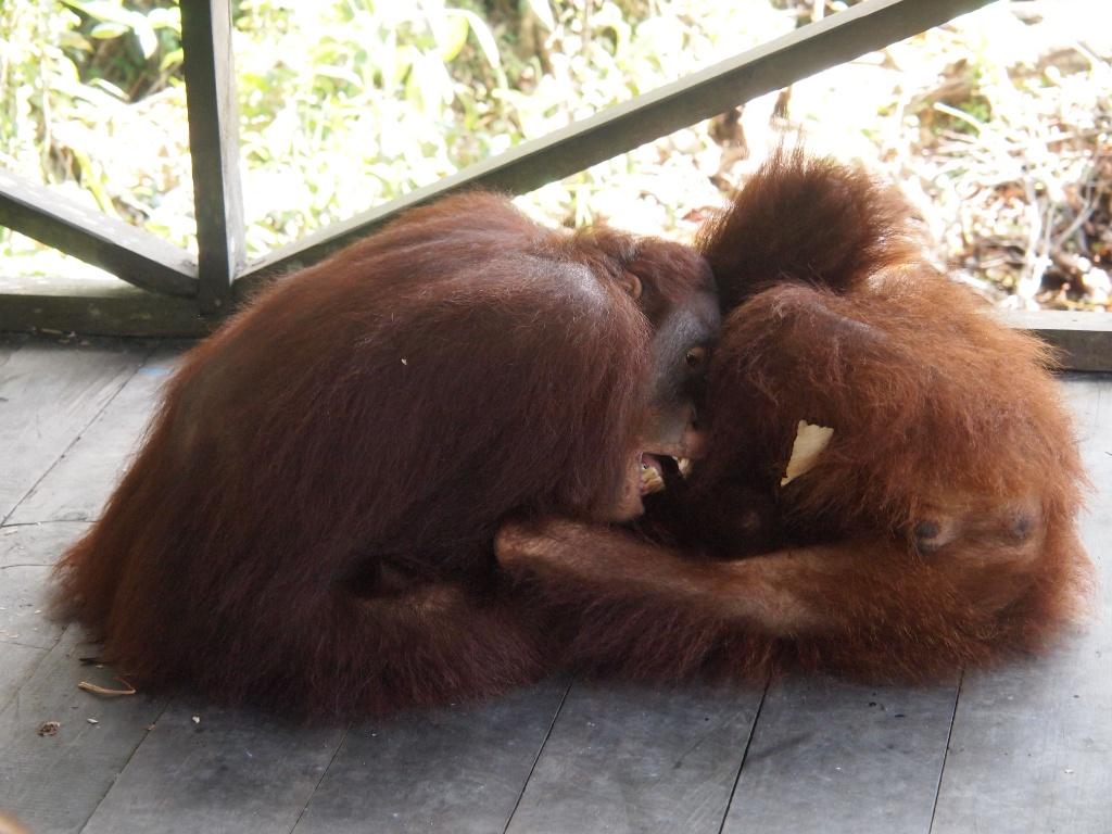 spielende orangutans
