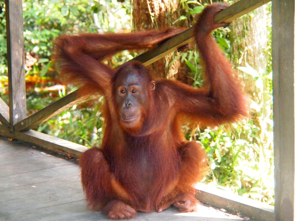 orangs camp leakey