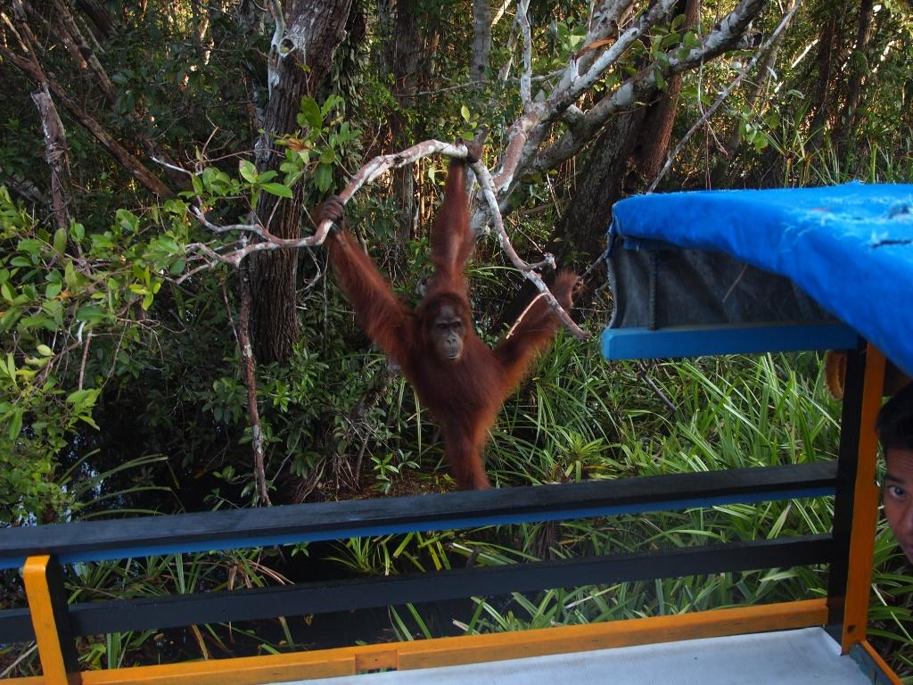 hausboot orangutan