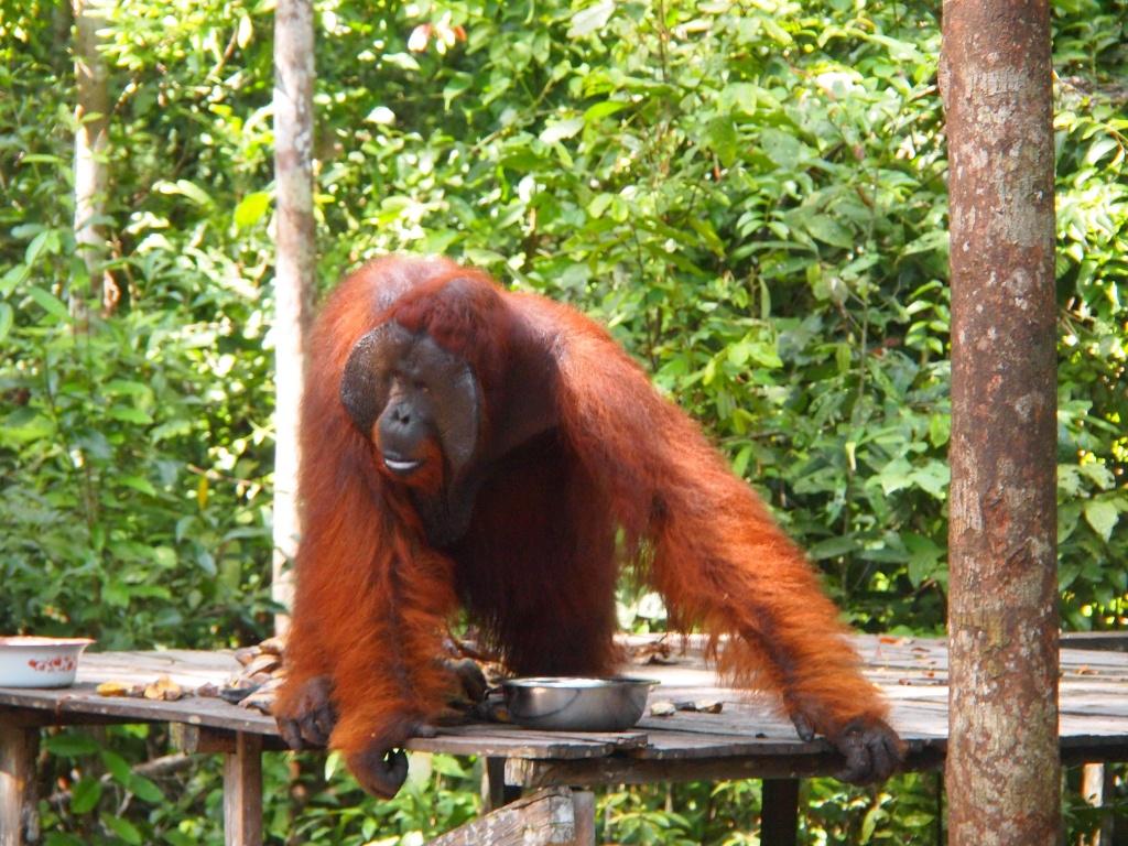 milch orangutans