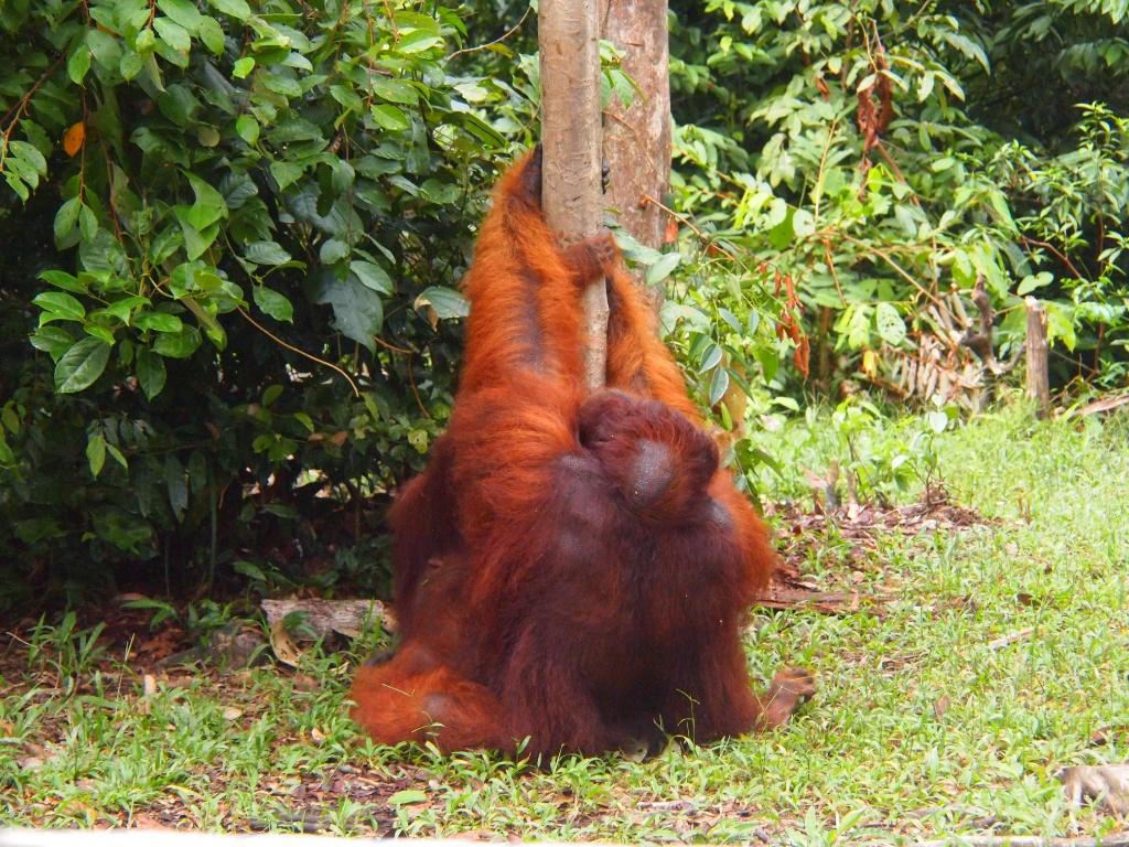 Paarung Pongo pygmaeus