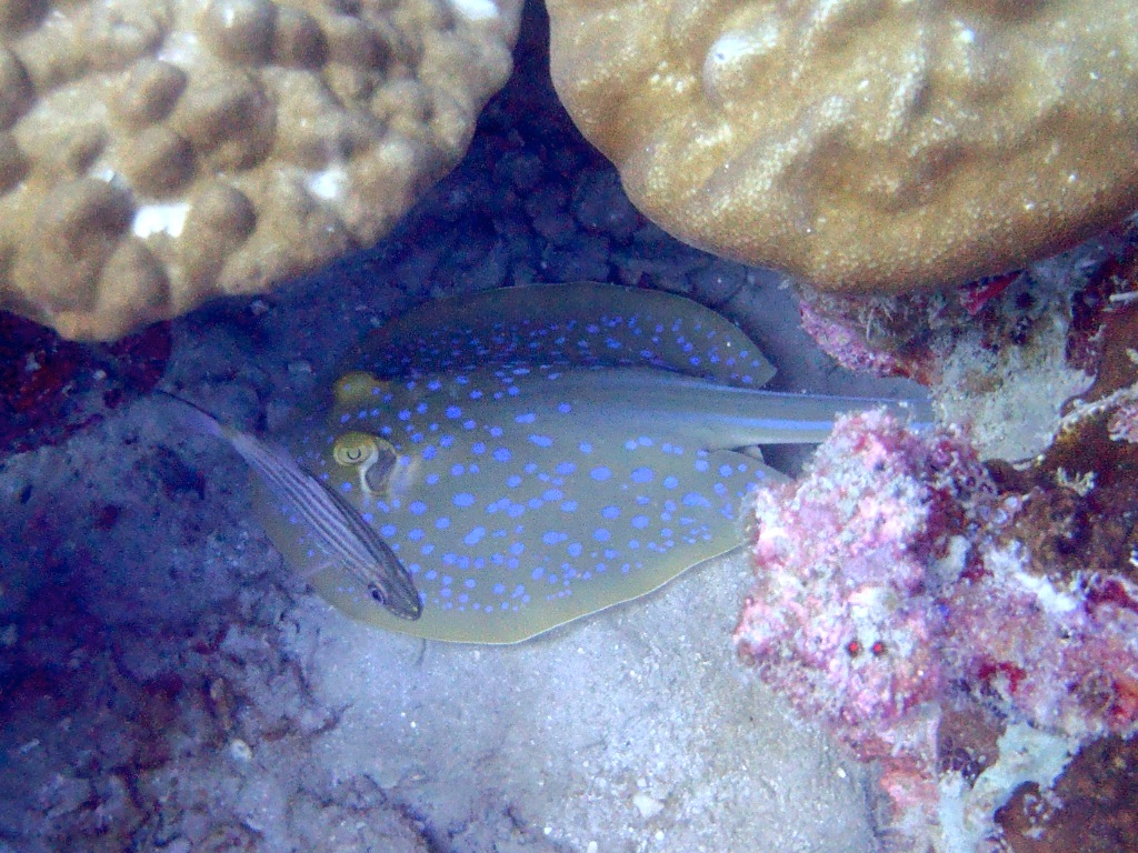 Neotrygon kuhlii (Blaugepunkteter Rochen)
