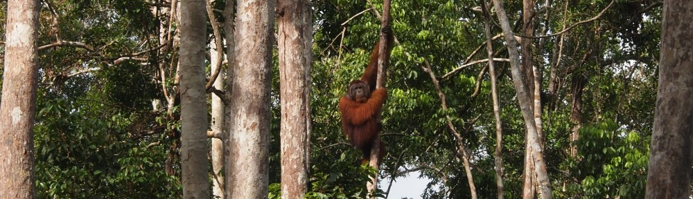 Orangutanmännchen