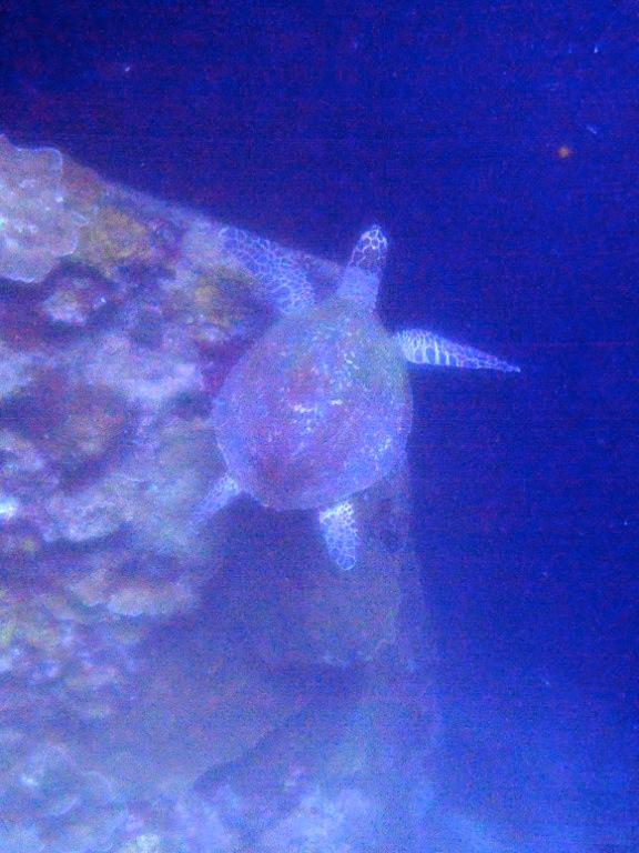 blau leuchtende schildkröte