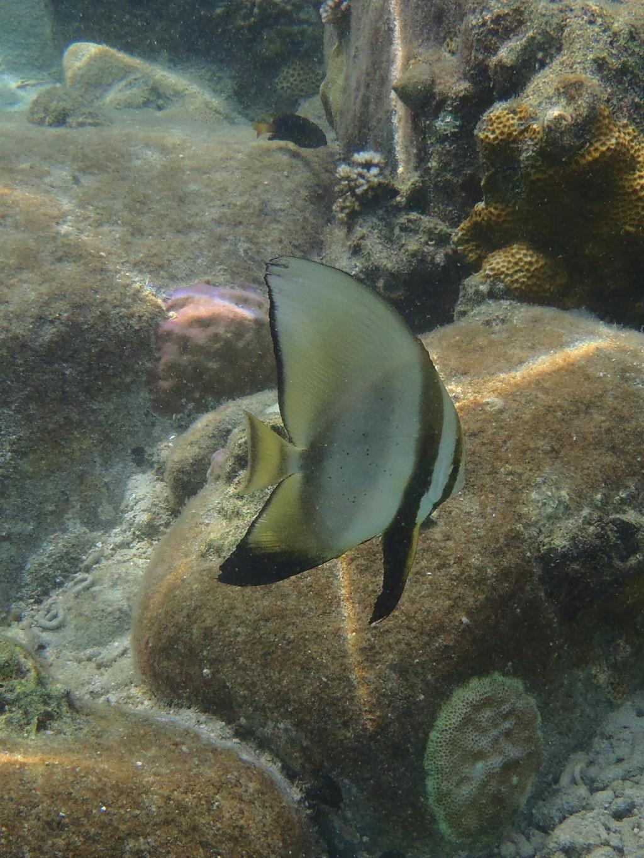 angelfish-perhentian Pomacanthidae