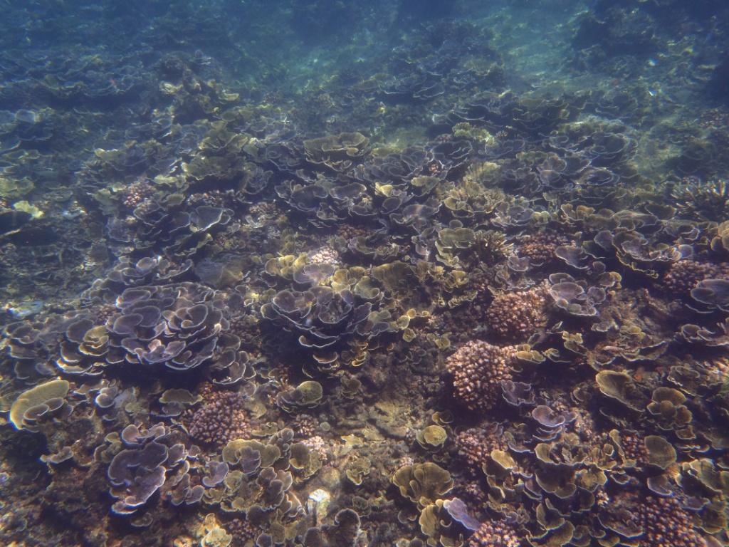 Montipora foliosa cabbage coral