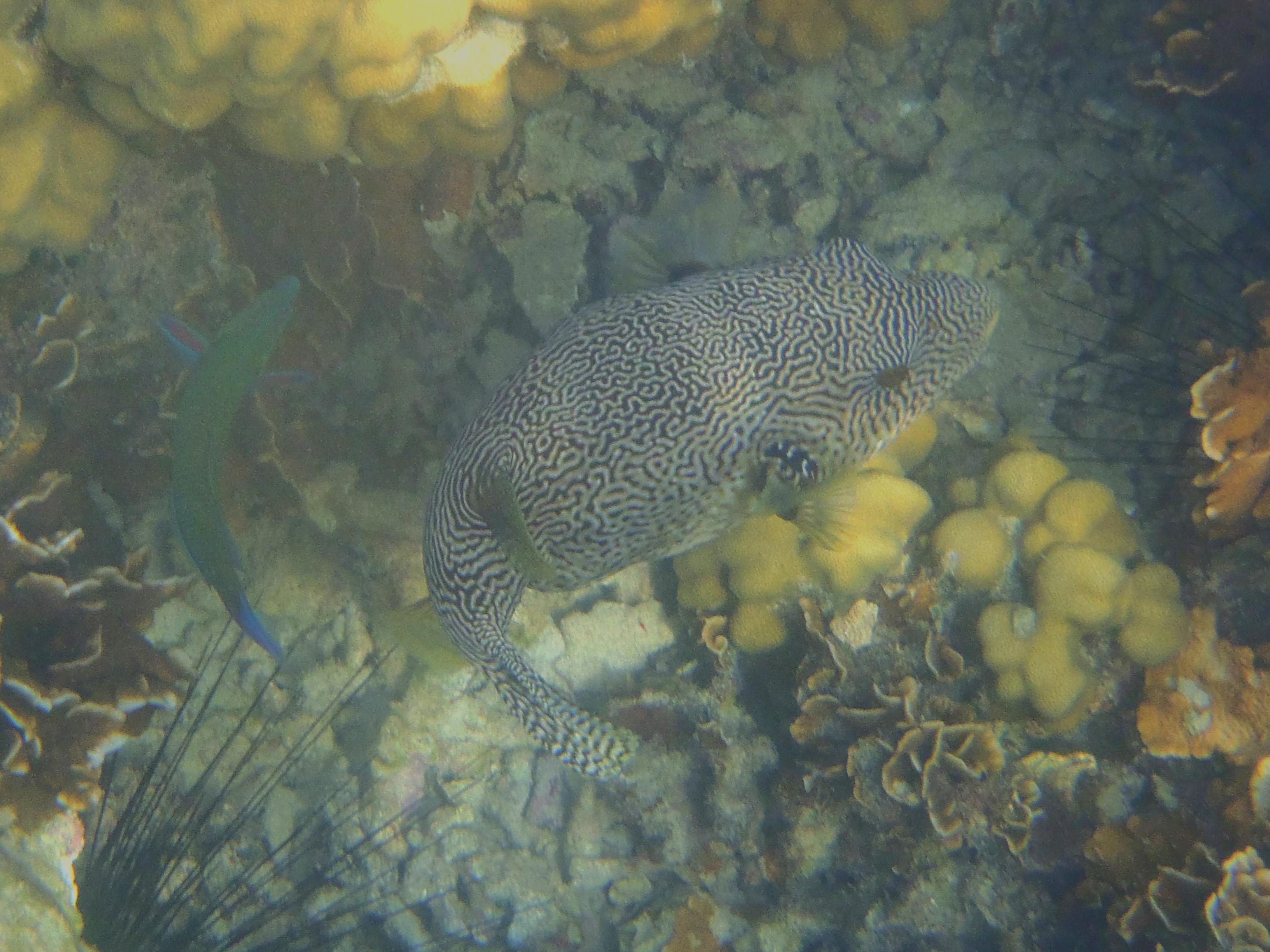 kugelfisch-malaysia