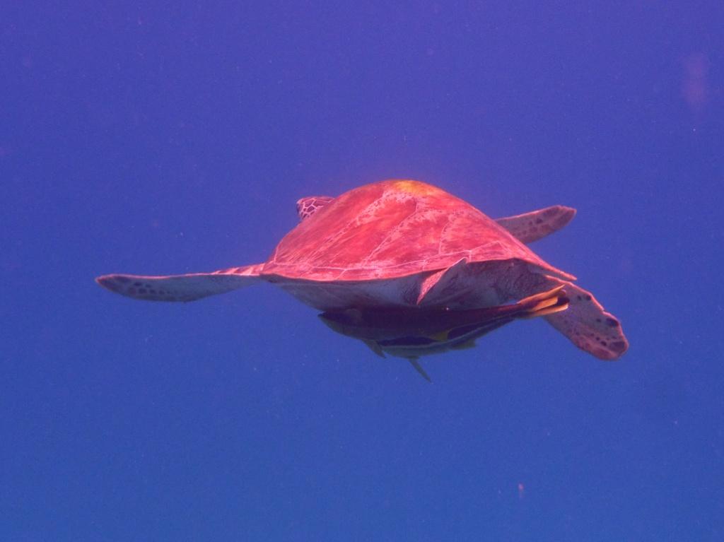 Echte Karettschildkröte (Eretmochelys imbricata)perhentian