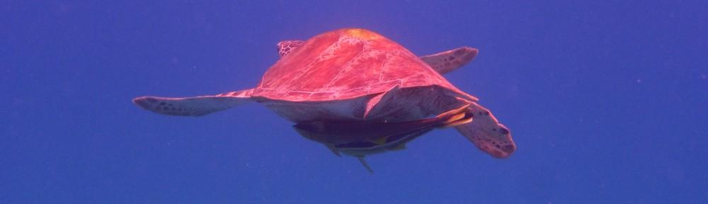 schnorcheln Meeresschildkröte