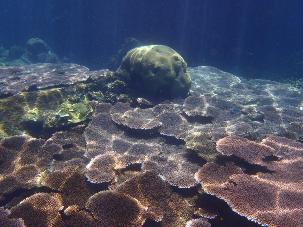 Acroporen Table coral