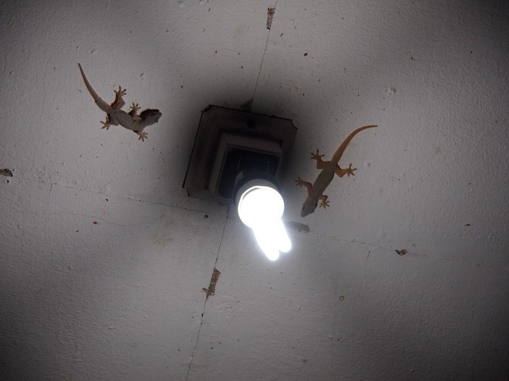 Geckos Indonesien