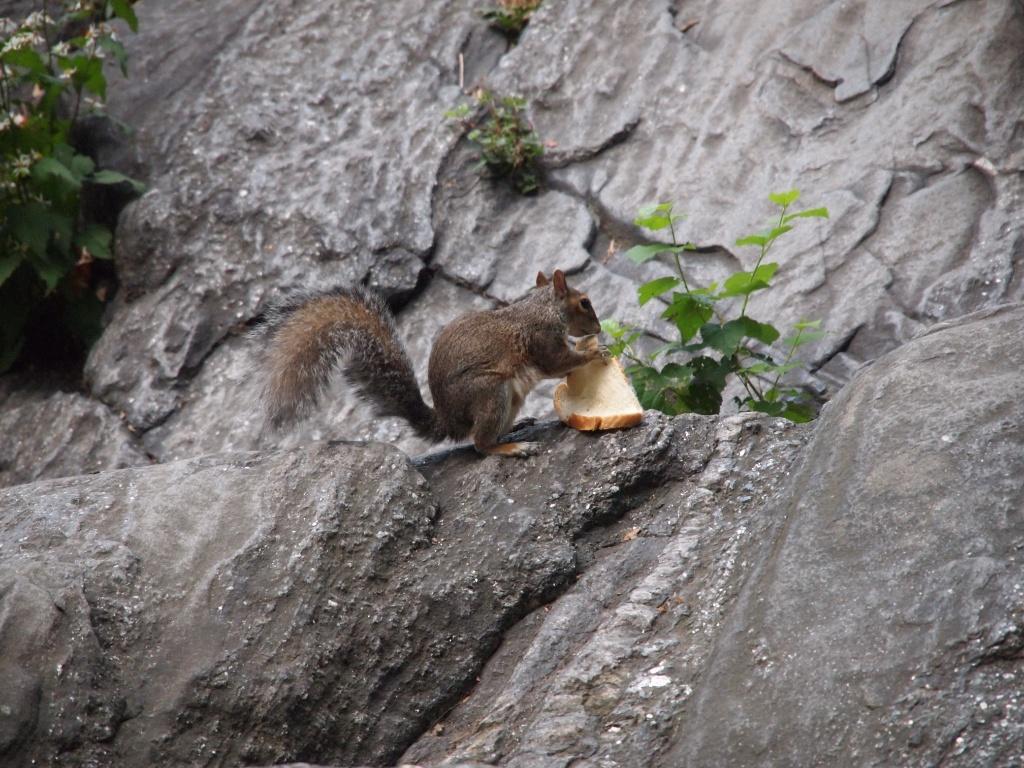Eichhörnchen Central Park